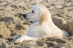 Golden retriever. Portrait of a sleeping on the beach Stock Images