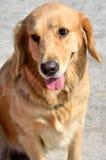 A golden retriever. A beautiful golden retriever dog, with golden color fur Royalty Free Stock Image