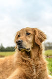 Golden Retriever Obraz Royalty Free