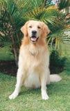 Golden Retriever. Sitting down royalty free stock photo