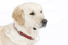 Golden retriever. In the snow Stock Photos