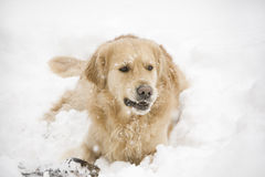 Golden retriever. Chewing a stick in the snow Stock Images