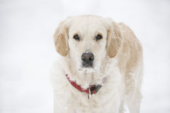 Golden retriever. Standing in the snow Royalty Free Stock Photography