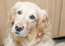 Golden retriever Photos stock