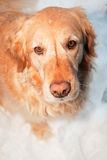 Golden retriever Photos libres de droits