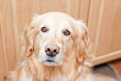 Golden retriever Photo stock