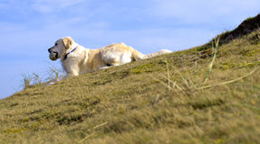 Golden retriever Lizenzfreie Stockbilder
