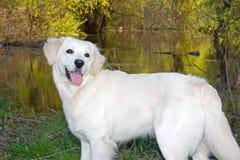 Golden Retriever 4. Golden Retriever posing for camera outdoors Royalty Free Stock Photo
