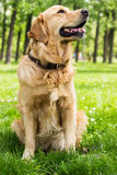 Golden Retriever Fotografia Stock