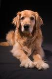 Golden Retriever. Assertive portrait of a Golden Retriever hunting-dog against a black background Stock Photos