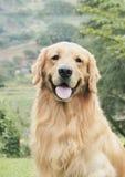 Golden Retriever Stock Photos