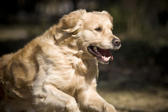 Golden retriever. Running after a ball Royalty Free Stock Photography