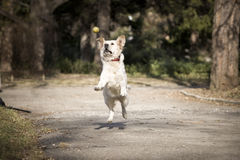 Golden retriever. Jumping for a ball Stock Images