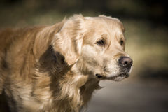 Golden retriever. Is looking forward Royalty Free Stock Images