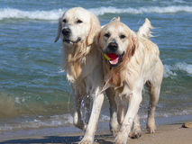 Golden retriever Stock Photos
