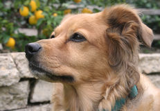 Golden Retriever. Portrait of pure bred Golden Retriever stock photos