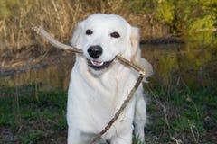 Golden Retriever 5. Golden Retriever posing for camera outdoors Stock Photography