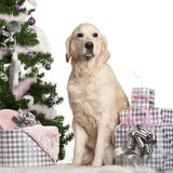 Golden Retriever, 5 years old, sitting Royalty Free Stock Photo