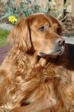 Golden Retriever. A Golden Retriever basking in the sun royalty free stock image