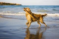 Golden retriever Stock Photography
