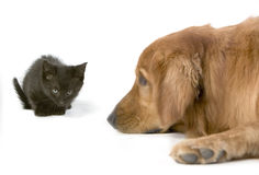Golden Retriever with 6 week old kitten Stock Images