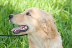 Golden Retriever. On leash sitting in grass Stock Photos