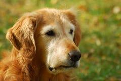 Golden Retriever. Portrait of a golden retriever Royalty Free Stock Photography