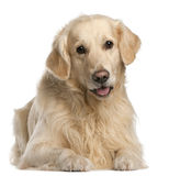 Golden Retriever, 7 years old, sitting Stock Image