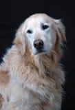Golden Retriever. Portrait of a golden retriever Royalty Free Stock Image