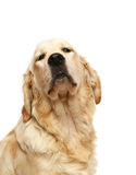 Golden Retriever. Dogs and cats in the most different situations and positions Stock Image