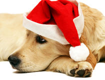Golden Retriever. Portrait of a golden retriever in a cap of Santa hat on a white background Stock Image
