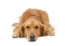 Golden Retriever royalty free stock photo