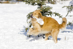 Free Golden Retriever Stock Images - 7740314