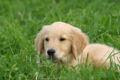 Golden retriever. Puppy stock photos