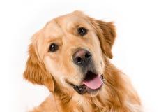 Golden Retriever. Portrait of a Golden Retriever with White background Stock Image