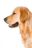 Golden Retriever. Portrait of a Golden Retriever with White background Stock Photography