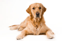 Golden Retriever. Portrait of a Golden Retriever with White background Royalty Free Stock Images