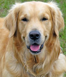 Golden Retriever stock images