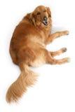 Golden retriever Royalty Free Stock Photo