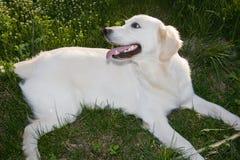 Golden Retriever 9. Golden Retriever posing for camera outdoors Royalty Free Stock Images