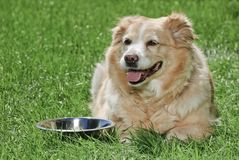 Golden Retriever 9050 Stock Photos