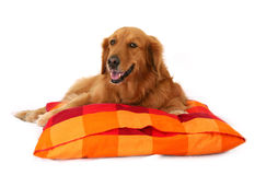 Free Golden Retriever Stock Photos - 982723
