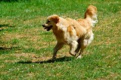 Golden Retriever in action Stock Photo