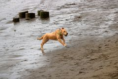 Golden Retriever in Action. A Golden Retriever in action running left to right after returning a ball tossed into the water Royalty Free Stock Images