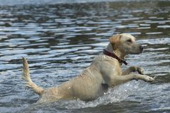 Golden Retriever Action in Water. Beautiful Golden Retriever is running through the water and looking very alert Royalty Free Stock Image