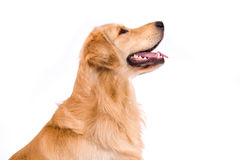Golden Retriever adult sideview portrait isolated on white Stock Photography