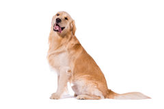 Golden Retriever adult sitting clowning at camera isolated on wh. Ite background Royalty Free Stock Image