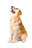 Golden Retriever adult sitting looking up side view  on. White background Royalty Free Stock Photography
