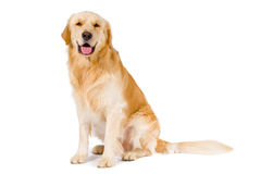 Golden Retriever adult sitting smiling at camera  on whi Royalty Free Stock Image