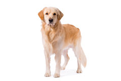 Golden Retriever adult standing serious   on white Royalty Free Stock Images